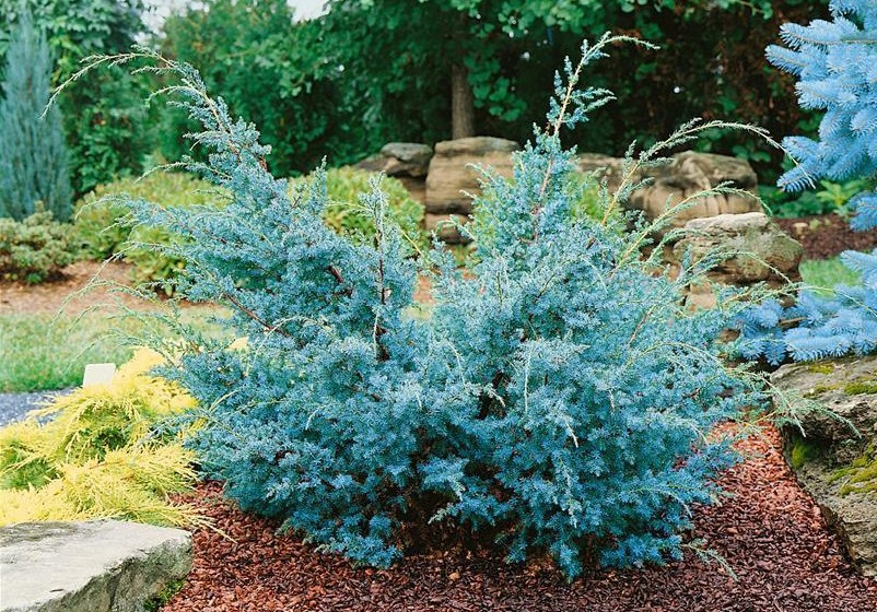 juniperus chinesis blue alps